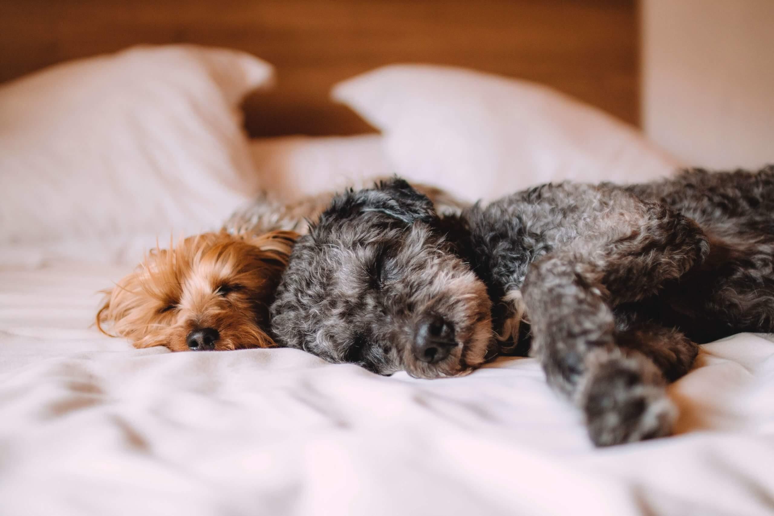 2 cães a dormir juntos numa cama